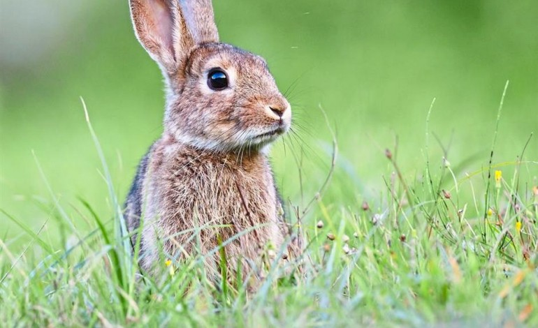 Rabbits are herbivores and cholesterol or animal fat forms no part of their natural diet. So if you use them in any dietary cholesterol study, their levels will definitely shoot up. Photo: AFP